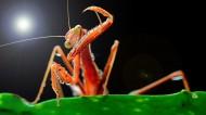 帅帅的螳螂图片(10张)