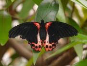 漂亮的大凤蝶图片(17张)