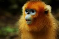 金丝猴图片(11张)