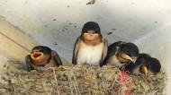 燕巢中的雏燕图片(20张)