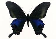 黑色蝴蝶标本图片(27张)