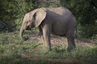 野生大象图片(14张)