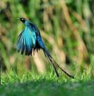 长尾辉椋鸟鸟类图片(11张)