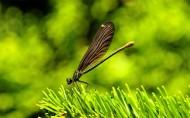 美丽的蜻蜓图片(11张)