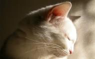 白色猫咪图片(24张)
