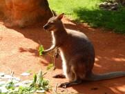 可爱的袋鼠图片(15张)