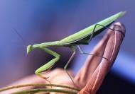 螳螂图片(6张)