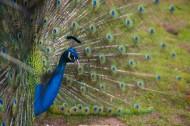 色彩艳丽的孔雀图片(10张)
