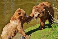 嬉戏中的棕熊图片(16张)