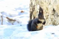 雪地里的松鼠图片(5张)