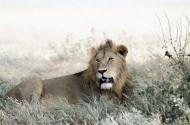凶猛的野外雄狮图片(10张)