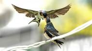 燕子图片(15张)
