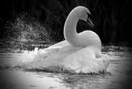 白天鹅图片(19张)