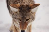 畏惧人类的郊狼图片(15张)