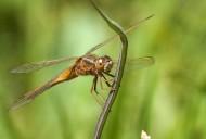 蜻蜓图片(10张)