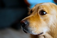温顺的金毛犬图片(12张)