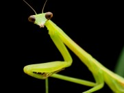 螳螂图片(10张)