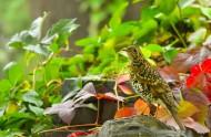 虎斑地鸫鸟类图片(6张)