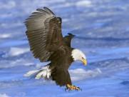 雄鹰图片(32张)