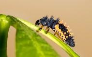 刺毛虫图片(13张)