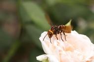 马蜂图片(5张)