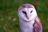 好看的谷仓猫头鹰图片(10张)