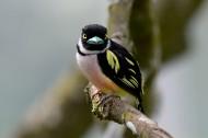 阔嘴鸟图片(6张)