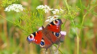 蝴蝶界的孔雀——孔雀蛱蝶图片(15张)