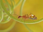 通体半透明的长角捷蚁图片(7张)