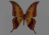 蝴蝶标本图片(26张)