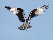 飞翔的老鹰图片(10张)
