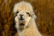 丑萌的羊驼图片(10张)