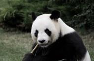 可爱的熊猫图片(14张)