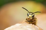 黄蜂的特写图片(13张)