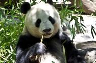 吃竹子的熊猫图片(7张)