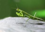 螳螂起舞图片(7张)
