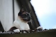 暹罗猫图片(15张)