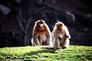 金丝猴图片(6张)