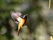 北红尾鸲展翅图片(10张)
