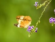 蝴蝶图片(43张)