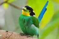 长尾阔嘴鸟图片(9张)