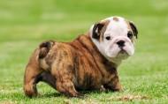可爱的斗牛犬图片(8张)