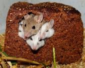 可爱的老鼠图片(12张)