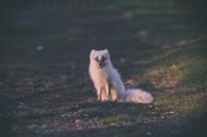 体型娇小的白狐图片(12张)
