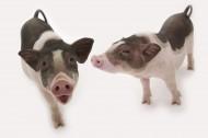 粉红宠物猪图片(51张)