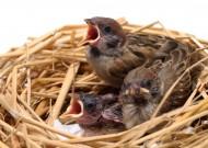 鸟窝里嗷嗷待哺的雏鸟图片(15张)
