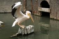 鹈鹕鸟类图片(10张)