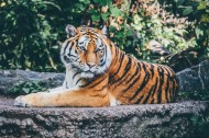 凶猛残酷的老虎图片(10张)