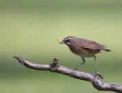 红喉歌鸲鸟类图片(6张)