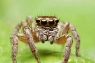 蝇虎跳蛛图片(10张)